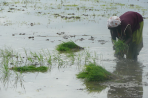 Transplanting conventional rice seedlings