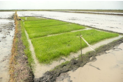 Conventional rice nursery