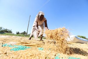 Monica Awino spreads rice to dry before milling at Nyang'ande in Nyando, Kisumu County. (Photo: Denish Ochieng/ Standard)